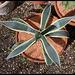 Agave americana variegata (2)
