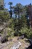 Im Urwald von Nahuelbuta