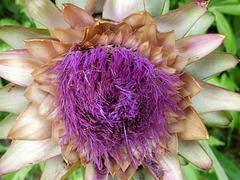 Flor de la alcachofa del sur