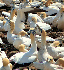 """Cape Gannets """"Sky-pointing"""", Lambert's Bay, South Africa"""