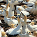 "Cape Gannets ""Sky-pointing"", Lambert's Bay, South Africa"