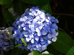 Hortensias del mismo jardín