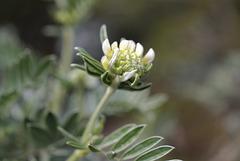 Anthyllis barba-jovis, Porquerolles