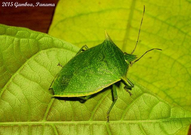 Loxa viridis (Shield Bug)