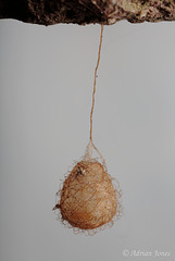 Ero sp, a spider egg sac.