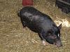 Vietnamese Pot-bellied Pig