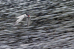 Arctic Tern with a Fish