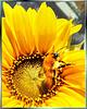 Drunken Bumblebee...? ©UdoSm