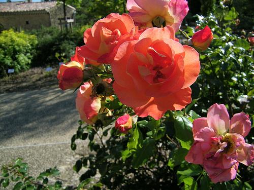 Des roses de l'été dernier