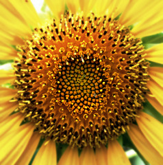Sunflower Symmetry