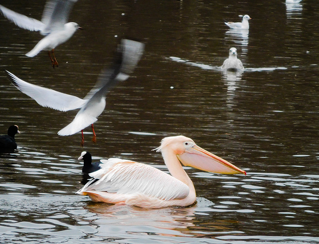 Pelican and other birds