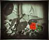 Kapuzinerkresse - Blume der Liebe