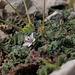 Erodium cicutarium, Calanque de Morgiou