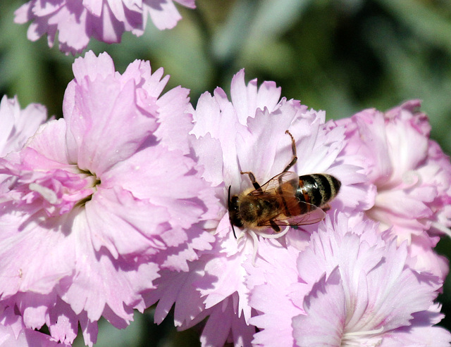 Biene auf Nelken