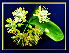 Lindenblüten... ©UdoSm