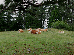Entspannte Rinder   /   Relaxed cattle