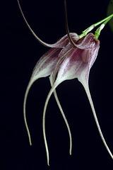 Luzama carmenensis