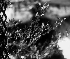 Trellis Rose In Light