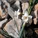 Narcissus dubius, Calanque de Morgiou