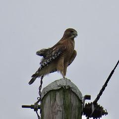 Cooper's hawk on TVA pole