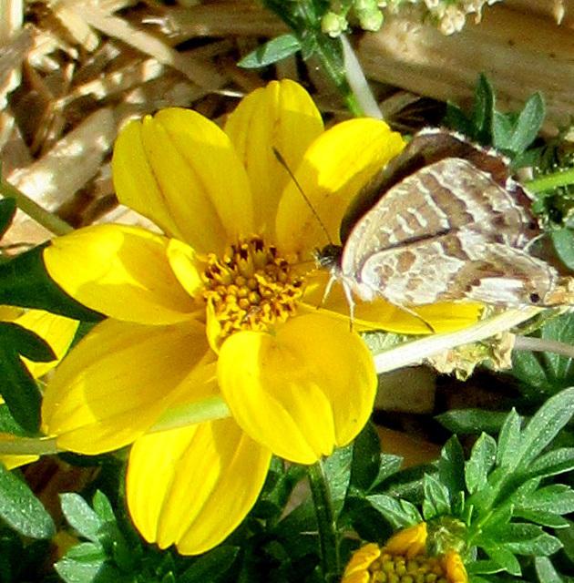 Mon 1er papillon de l'été / My 1st butterfly of this summer