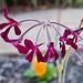 South African species of pelargonium