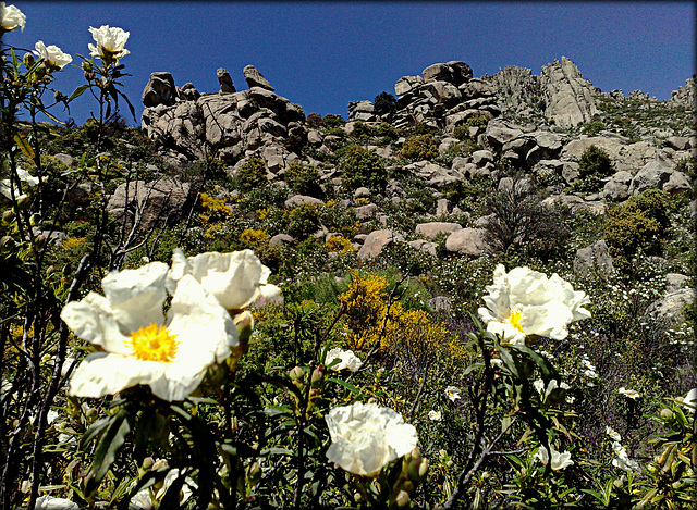 La Cabrera, gum cistus everywhere