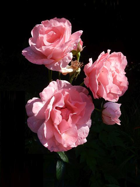 28 Rose Queen Elisabeth