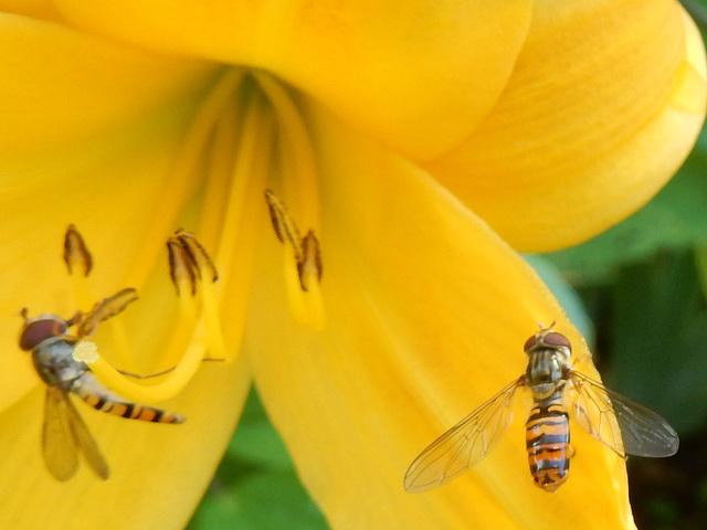 29 Schwebfliegen an Taglilienblüte