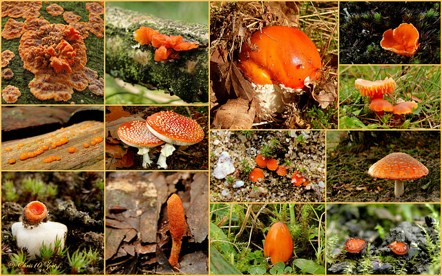 It's still autumn, so time for some orange mushrooms / fungi from the Netherlands...