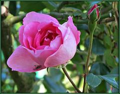 ** La rose et son bouton **