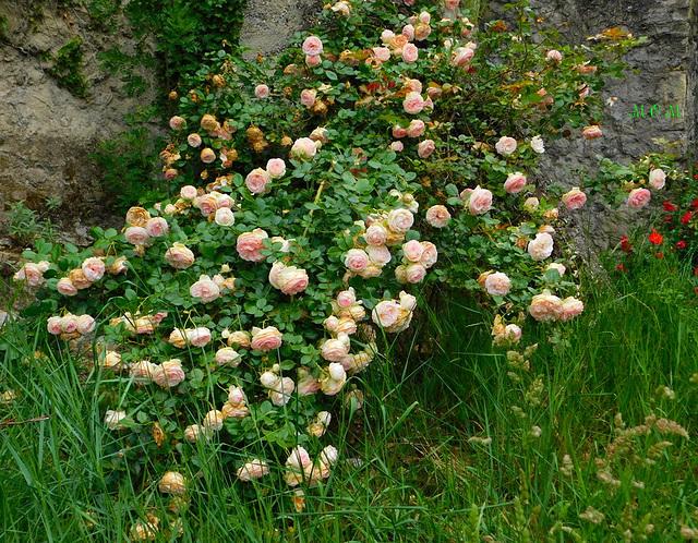 Buisson de roses du parc**********