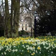 Cambridge - Clare College - spring flowers on the 'backs' 2016-04-01