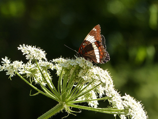 White Admiral on Cow Parsnip