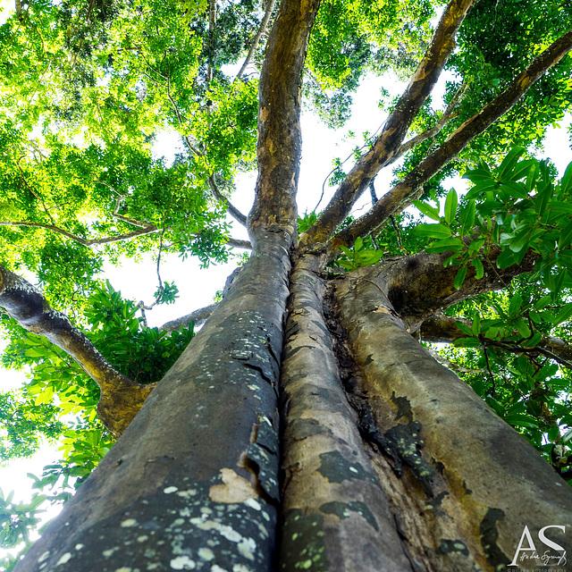 Diospyros atrata (Sri Lanka only), Royal Botanic Gardens of Peradeniya, Kandy