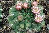 Cacti Flowers (Gymnocalycium) 172