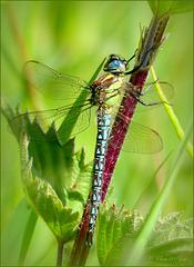Hairy hawker, Hairy dragonfly ~ Glassnijder (Brachytron pratense), male ♂