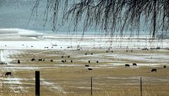 Winter cattle