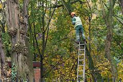 Maître élagueur sur un arbre perché