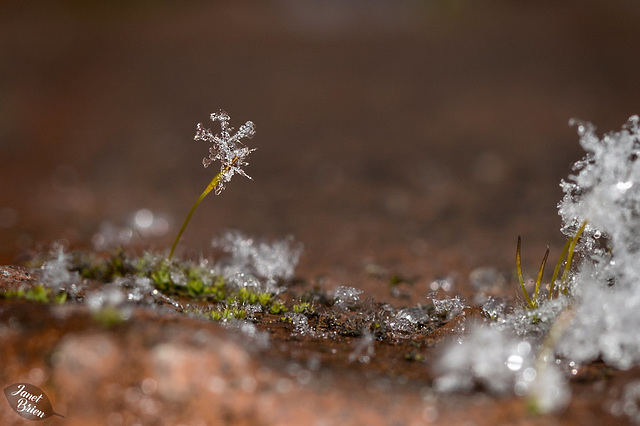 Pictures for Pam, Day 101: Snowflake on a Sporophyte