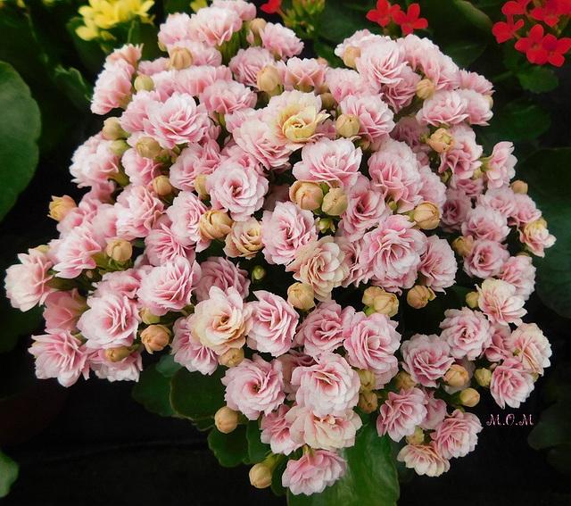 Bouquet rose...