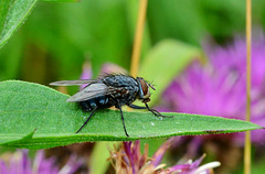 Blow-Fly, Bluebottle. Calliphora vomitoria