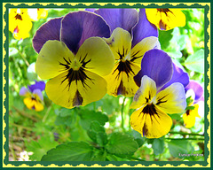 Pansy Party.