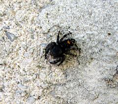 Bold Jumping Spider (Phidippus audax)
