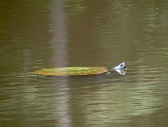Spiny soft shell turtle
