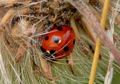 Seven Spot Ladybird. Coccinella septempunctata