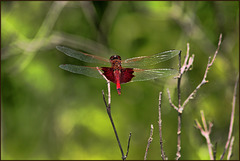 Winged and Caped Beauty - Male