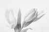 Oriental Lily Buds Monochrome Topaz Filter 092816-001