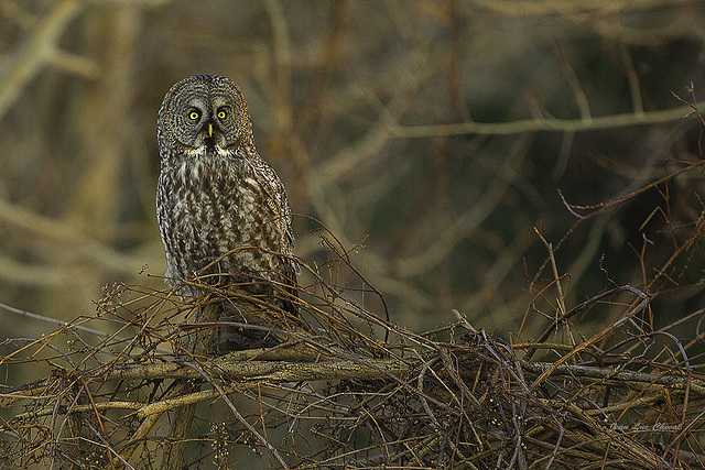 Chouette Lapone - Great Gray Owl