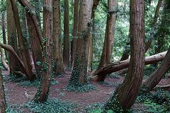 Le thuya géant aux 80 troncs